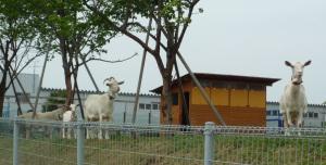 ヤギ小屋と飼育されているヤギ
