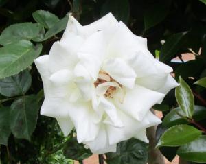 白花のバラ