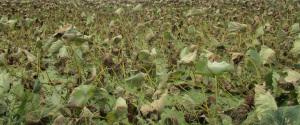 枯れた蓮の葉